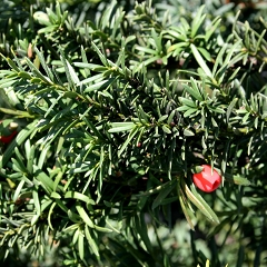 "Cis Pośredni ""Hicksii"" (Taxus x Media)"