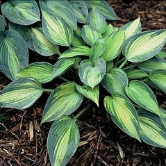 "Funkia  ""June"" (Hosta)"