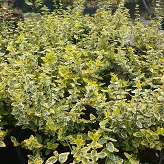 "TRZMIELINA FORTUNEA ""EMERALD`N GOLD"" (EUONYMUS FORTUNEI ""EMERALD`N GOLD"")"