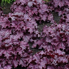 "Żurawka ""Forever Purple"" (Heuchera)"
